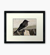 Black Phoebe ~ Tyrant Flycatcher Framed Print
