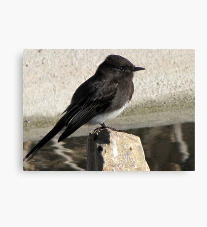 Black Phoebe ~ Tyrant Flycatcher Canvas Print