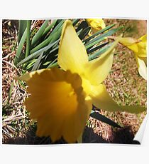 Lovely Little Daffodil Poster