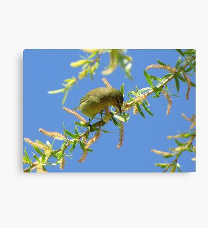 Orange-crowned Warbler Canvas Print