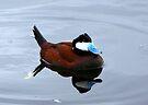 Ruddy Duck ~ Male by Kimberly Chadwick