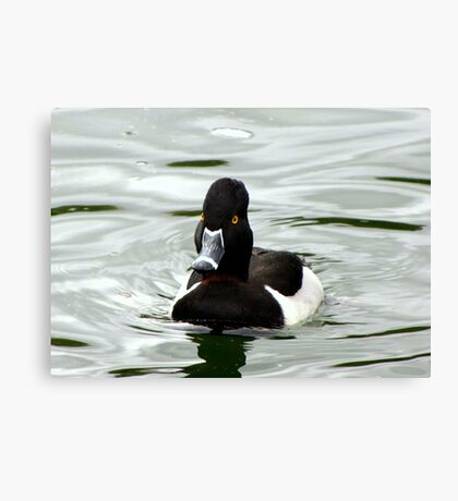 Ring-necked ~ Male Canvas Print