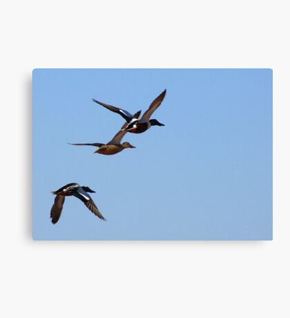 Northern Shovelers ~ In Flight Canvas Print