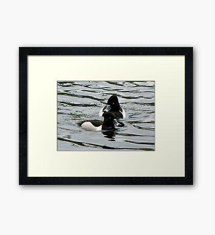 Ring-necked Ducks ~ Males Framed Print