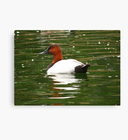 Canvasback ~ Male Canvas Print