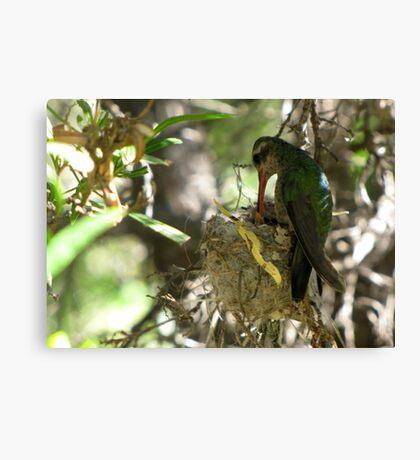 Broad-billed Hummingbird ~ Life Begins Canvas Print