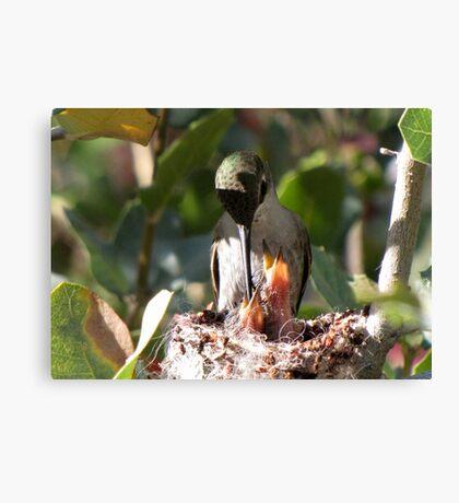 Costa's Humminbird & Babies 3-11-10 Canvas Print