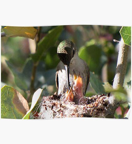 Costa's Humminbird & Babies 3-11-10 Poster