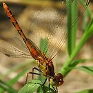 Dragonfly by pickyspics