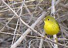 Yellow Warbler ~ Adult by Kimberly Chadwick