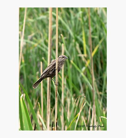 Red-winged Blackbird ~ Female Photographic Print