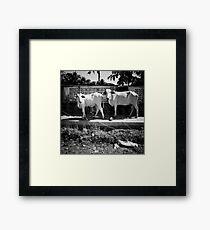 cows, kep, cambodia Framed Print