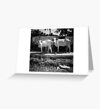 cows, kep, cambodia Greeting Card