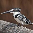 Female pied Kingfisher by Shaun Whiteman