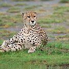 Cheetah in Tanzania, Africa by Raymond J Barlow