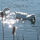 Water off a ducks back!!! by greenstone