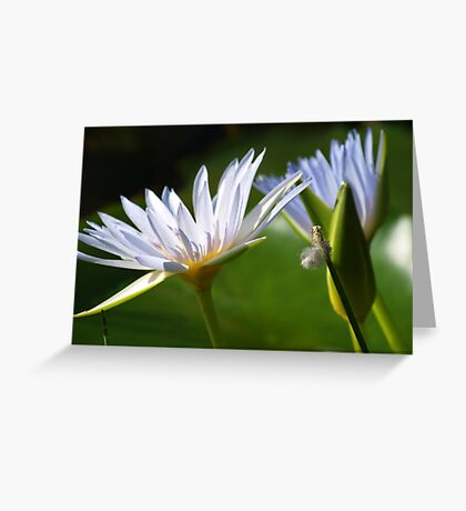 Softly spoken are Waterlilies  Greeting Card