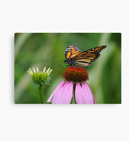 softly landing on an echinacia flower Canvas Print
