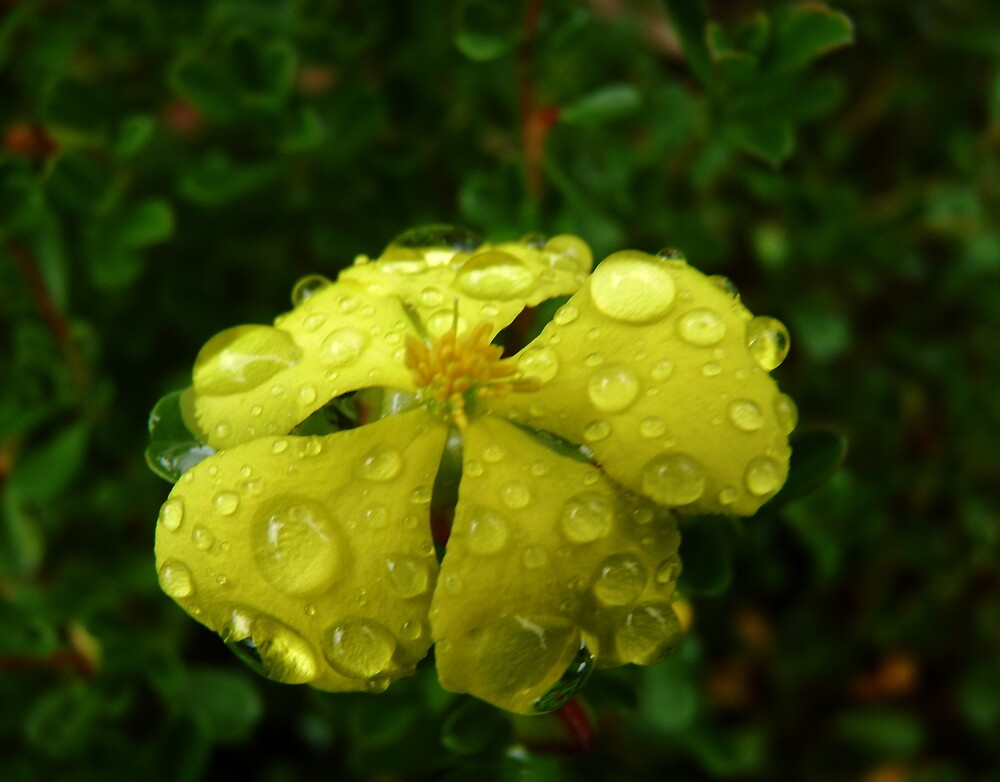 Awash With Tears ~ Hibbertia  by Meg Hart