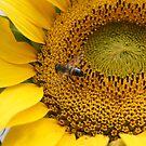 Sunflower w helper by trishringe