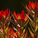 Protea 2 by John Caddell