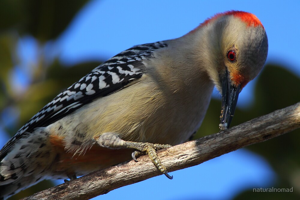Red-bellied Woodpecker by naturalnomad