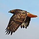 Red-Tailed Hawk Flies On High  by Chuck Gardner