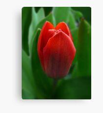 Dwarf Tulip Canvas Print