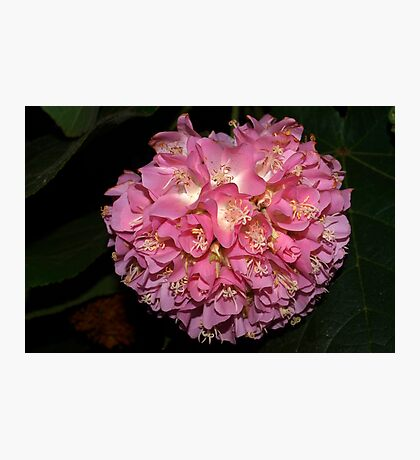 Pink Ball Tropical Hydrangea Photographic Print