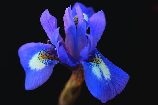 Gynandriris sisyrinchium by andrachne