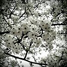 White Blossoms by Colleen Drew