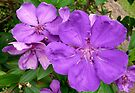 Tibouchina by Margaret  Hyde