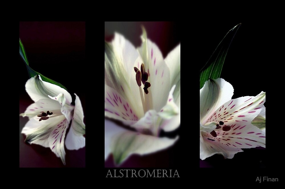 Alstromeria Trio by Aj Finan