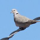 morning dove by gabbielizzie