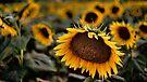 Sunflower by Kutay Photography