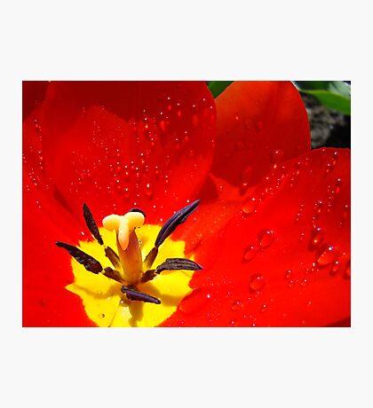 Red Tulip Flower macro Spring Raindrops wet Baslee Troutman Photographic Print