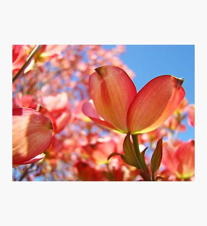Sunlit Pink Dogwood Tree Flowers Spring Baslee Troutman Photographic Print