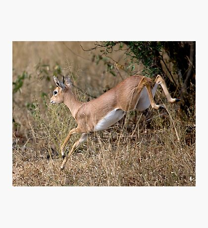 Steenbok On The Run Photographic Print