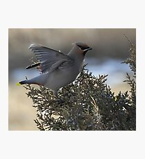 Waxwing Stretch Photographic Print