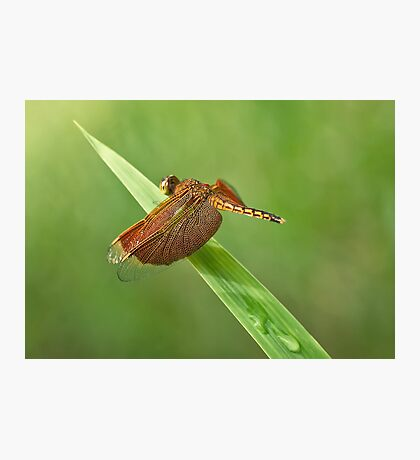 Red Winged Dragonfly Photographic Print