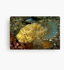 Pygmy Leatherjacket Canvas Print