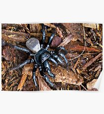 Mouse Spider, not a Funnel-Web Spider Poster