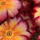 Rainbow sherbet primroses. by bared