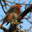 Robin redbreast. by bared