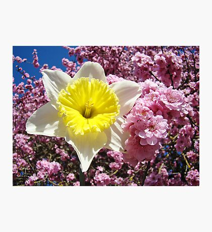 Yellow Daffodil Flower Pink Tree Blossom Baslee Troutman Photographic Print