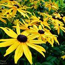 Sunshine (Black Eyed Susans) by rocamiadesign