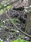 Australian Brush Turkey on his mound by Margaret  Hyde