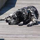 Kokomo, the Dockmaster's Dog by May Lattanzio