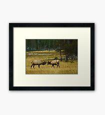Elk Bulls Sparring Framed Print