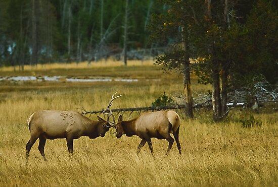 Elk Bulls Sparring by Joe Elliott